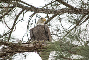 Bald Eagle Lake Forest
